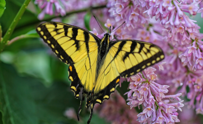 A yellow butterfly on a purple lilac